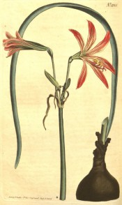 The illustration shows a bulb with orange and white streaked flowers with narrow petals. BM t.1125/1808.