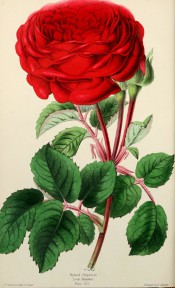 The illustration shows a deep orange-red rose, very double, with bright green foliage.