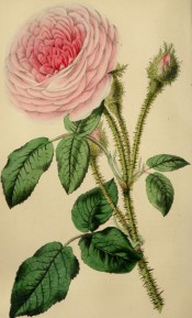 Illustrated is a beautiful, very double, pale pink moss rose.